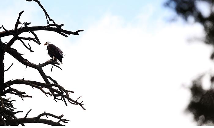 Eagle KILL WEB