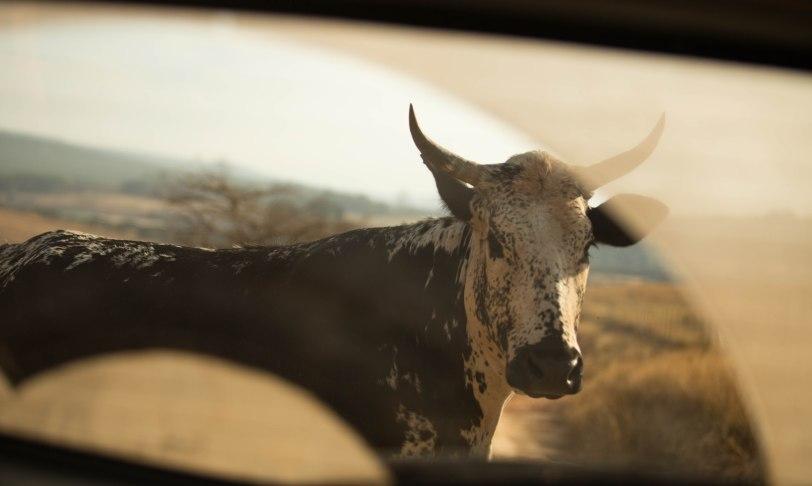 Cow through window